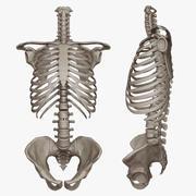 Human Skeletal Torso(High Poly Model) 3d model