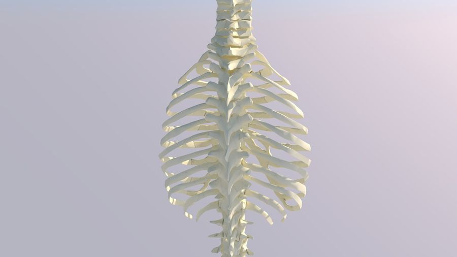 Chest Thorax Bone Anatomy royalty-free 3d model - Preview no. 8