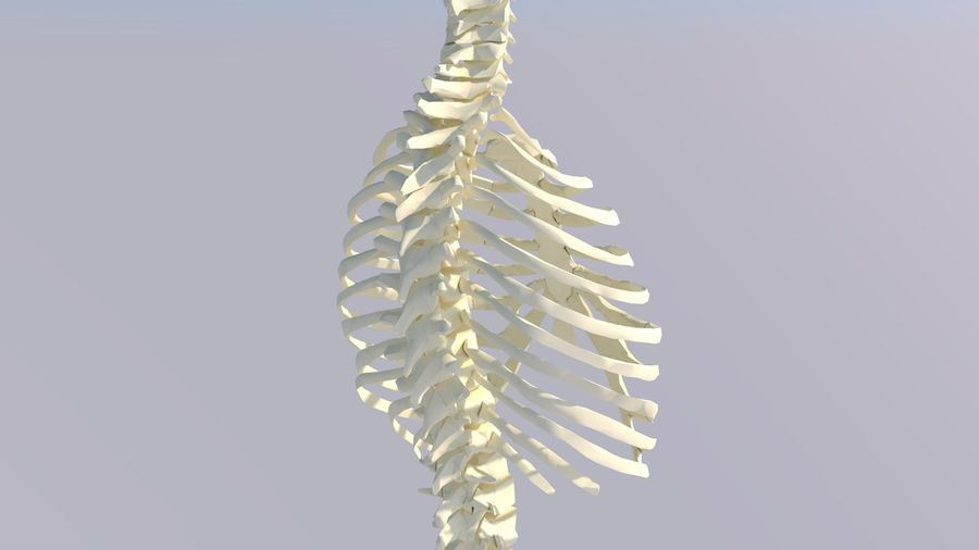 Chest Thorax Bone Anatomy royalty-free 3d model - Preview no. 7