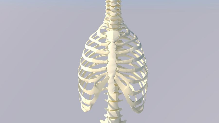 Chest Thorax Bone Anatomy royalty-free 3d model - Preview no. 15
