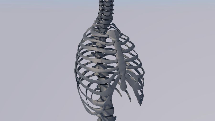 Chest Thorax Bone Anatomy royalty-free 3d model - Preview no. 17
