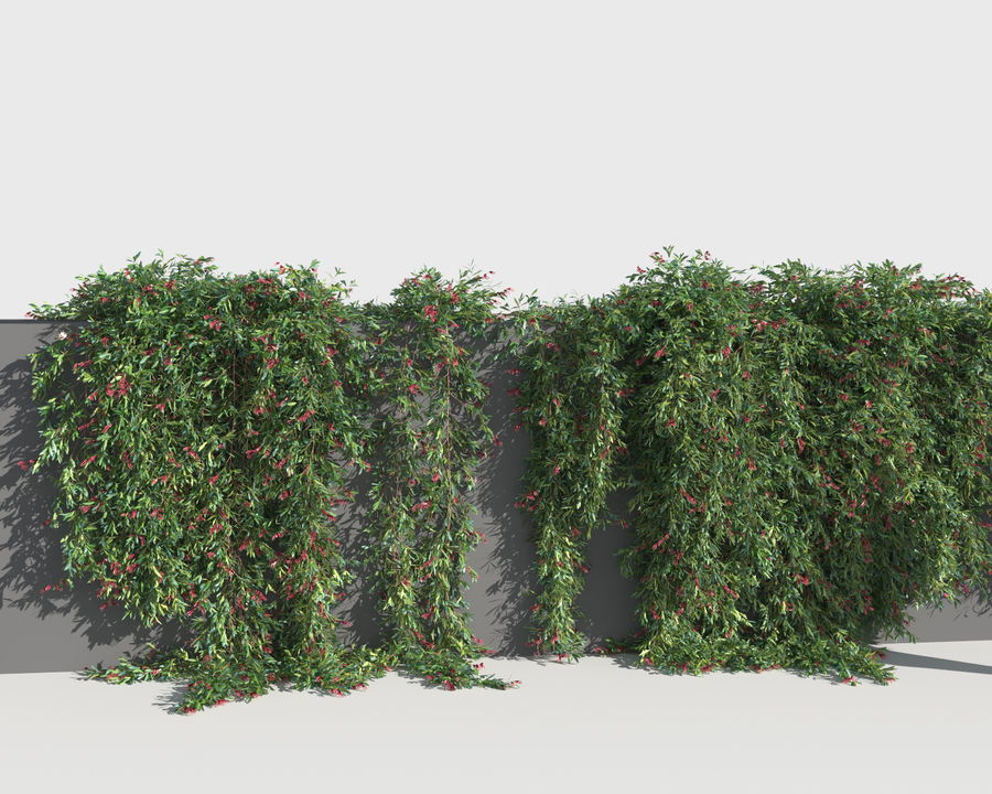 Grevillea Laurifolia (+GrowFX) royalty-free 3d model - Preview no. 11