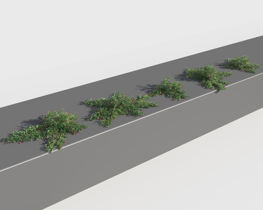 Grevillea Laurifolia (+GrowFX) royalty-free 3d model - Preview no. 9