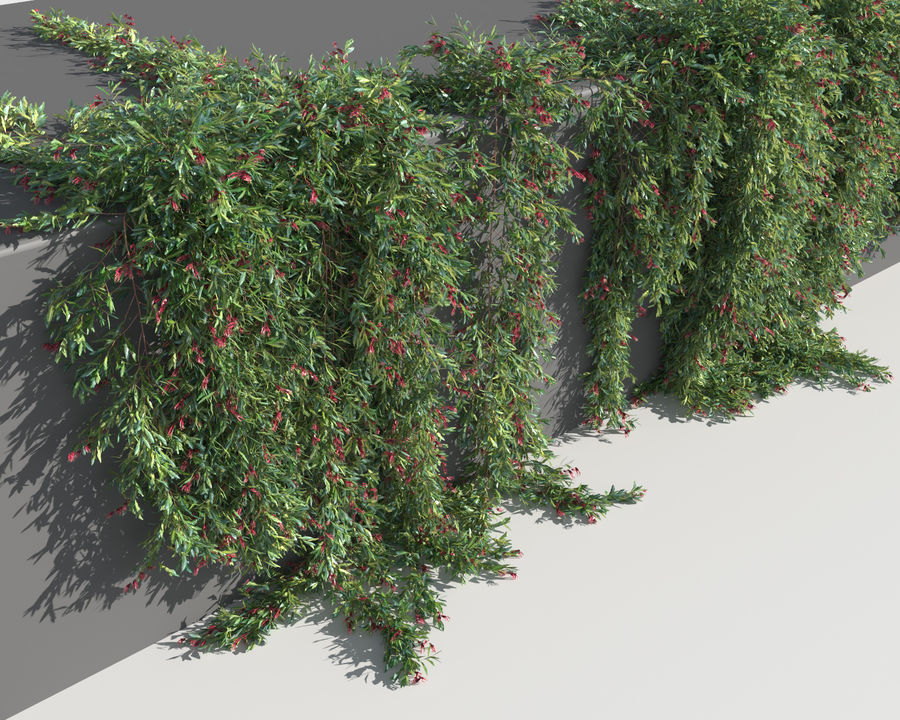 Grevillea Laurifolia (+GrowFX) royalty-free 3d model - Preview no. 10