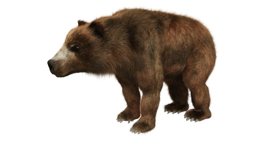Niedźwiedź grizzly z futrem royalty-free 3d model - Preview no. 3