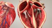 Cuore con sezione trasversale anatomica 3d model