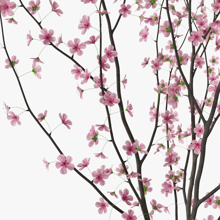 Cherry blossom royalty-free 3d model - Preview no. 13