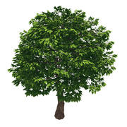 Skog - Cassia Tree 38 3d model