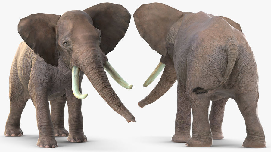 Animerad Elephant Agressive Move Fur Rigged royalty-free 3d model - Preview no. 7
