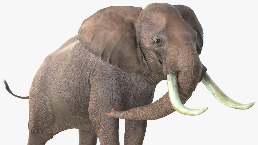 Animerad Elephant Agressive Move Fur Rigged royalty-free 3d model - Preview no. 8