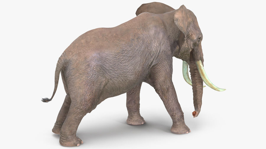 Animerad Elephant Agressive Move Fur Rigged royalty-free 3d model - Preview no. 5