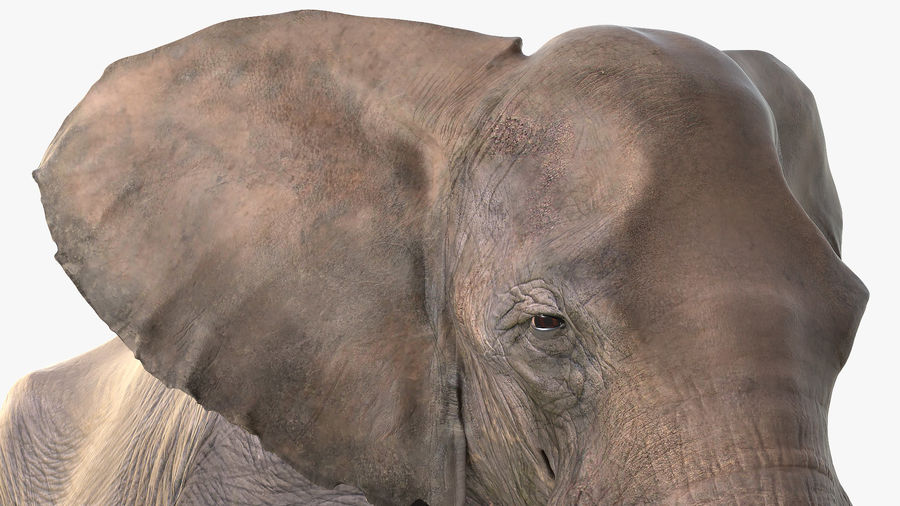 Animated Elephant Walking Fur Rigged royalty-free 3d model - Preview no. 13