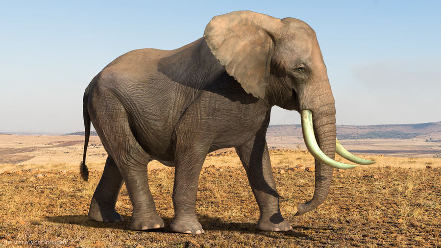 Animated Elephant Walking Fur Rigged royalty-free 3d model - Preview no. 3