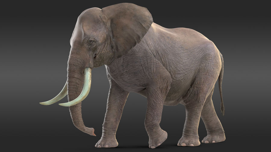 Animated Elephant Walking Fur Rigged royalty-free 3d model - Preview no. 2