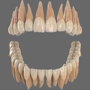 Realistische Zähne bleibendes Gebiss 3d model