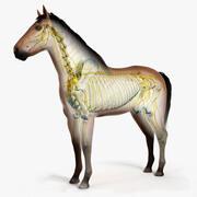 Hästhud, skelett och nerver 3d model