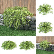 lace shrub Neillia stephanandra incisa 3d model