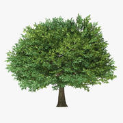 12 Meter Sessile Oak 3d model