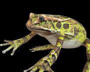 Żaba takielunek 3d model