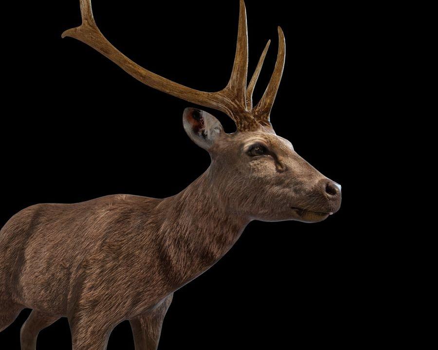 Smbar Geyik Rusa unicolor Arma royalty-free 3d model - Preview no. 11