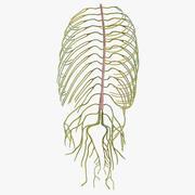 Sistema nervoso del busto umano 3d model
