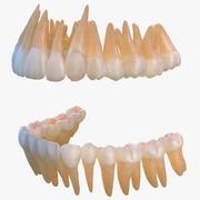 人間の歯 3d model