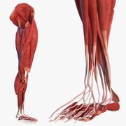Human Leg Muscular System 3d model
