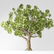 Sycamore tree 3d model