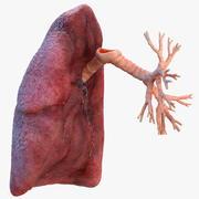 Prawe płuco człowieka i oskrzela 3d model