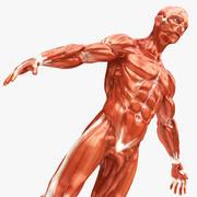 现实的肌肉 3d model