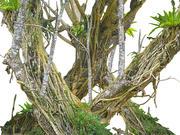 Stare drzewo dżungli 3d model