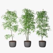 Ficus Benjamin 06 3d model