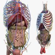 Mannelijke torso en interne organen anatomie 3d model