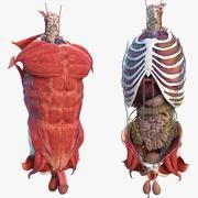 Mannelijke torso volledige anatomie 3d model