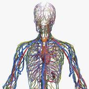 Manliga kardiovaskulära lymfatiska och nervösa system 3d model