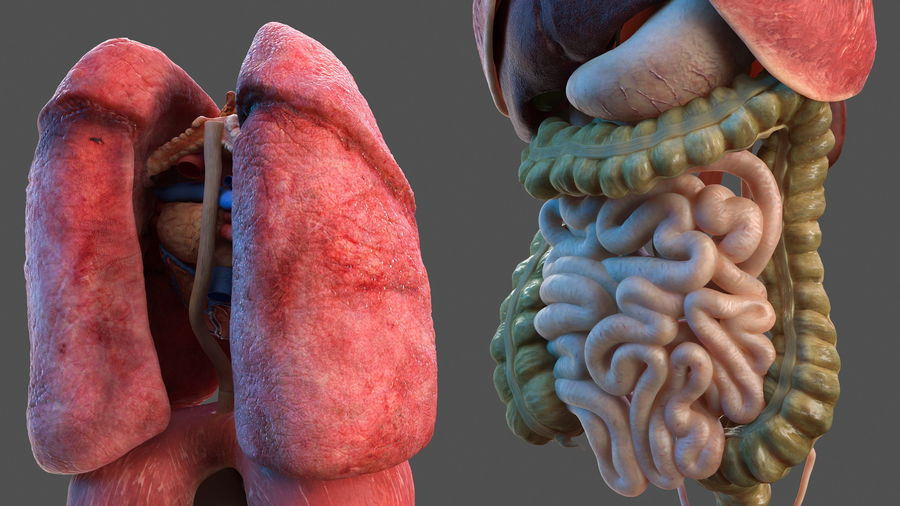 Manliga interna organ royalty-free 3d model - Preview no. 13