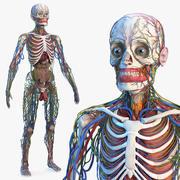 Mannelijk skelet en inwendige organen anatomie 3d model