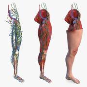 Mannelijke been volledige anatomie en huid 3d model