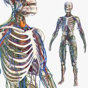 男性骨骼心血管淋巴和神经系统 3d model