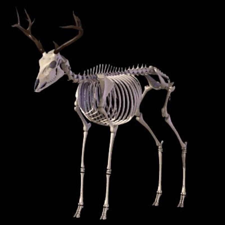 Anatomie du cerf royalty-free 3d model - Preview no. 8