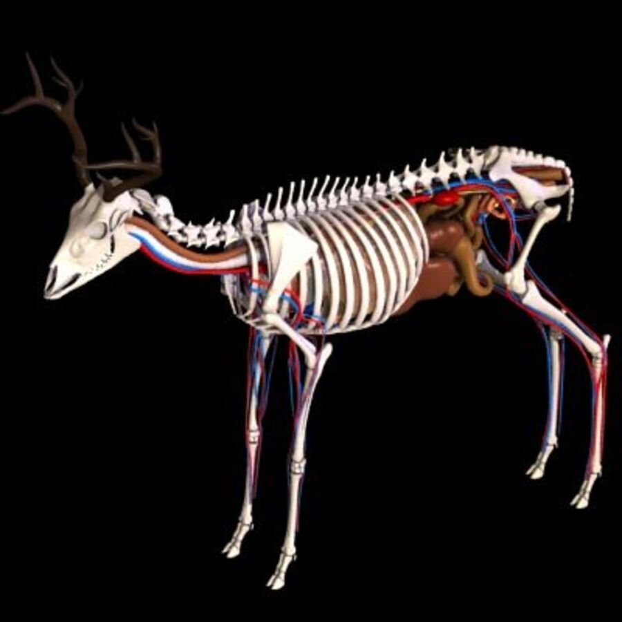 Anatomie du cerf royalty-free 3d model - Preview no. 4