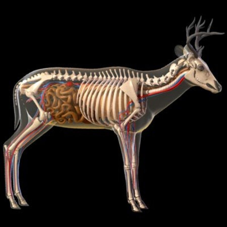 Anatomie du cerf royalty-free 3d model - Preview no. 2