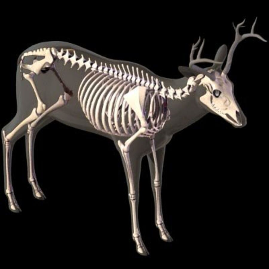 Anatomie du cerf royalty-free 3d model - Preview no. 10