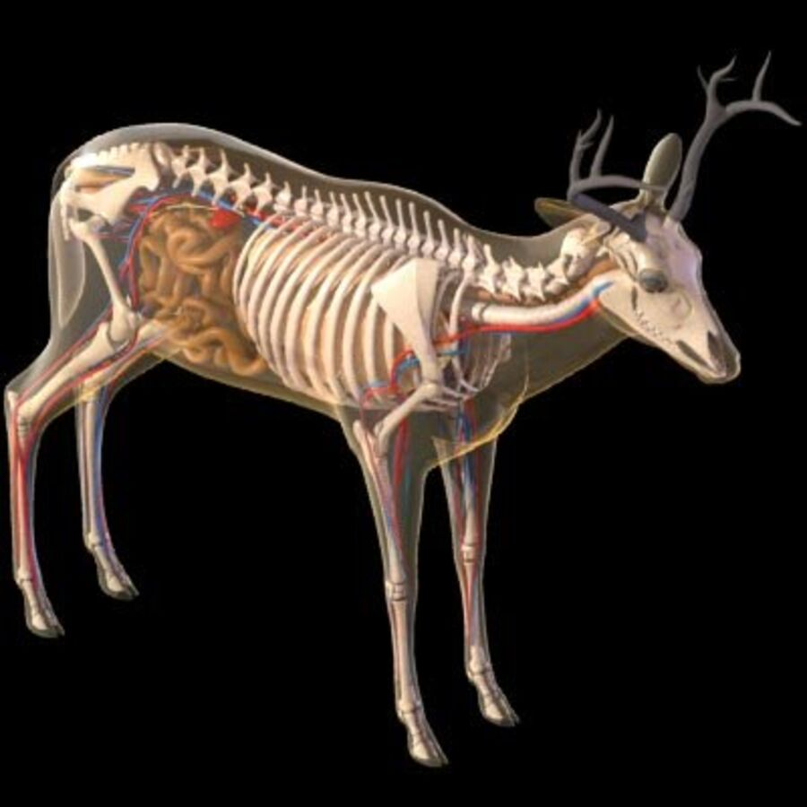 Anatomie du cerf royalty-free 3d model - Preview no. 17