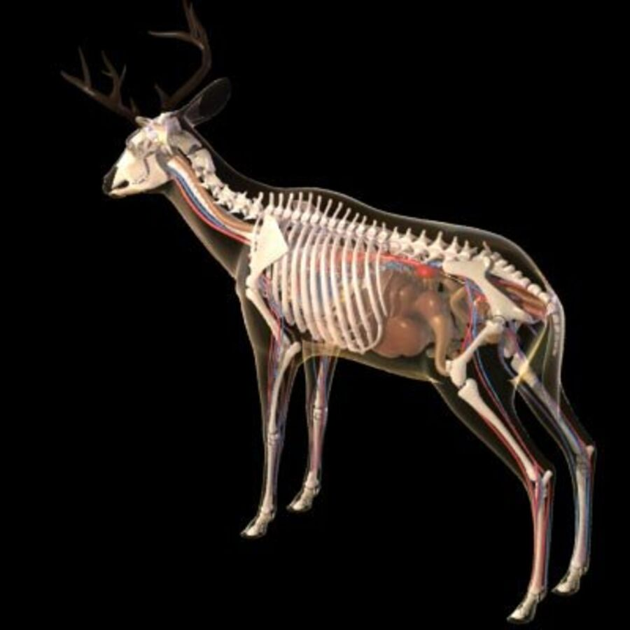 Anatomie du cerf royalty-free 3d model - Preview no. 3