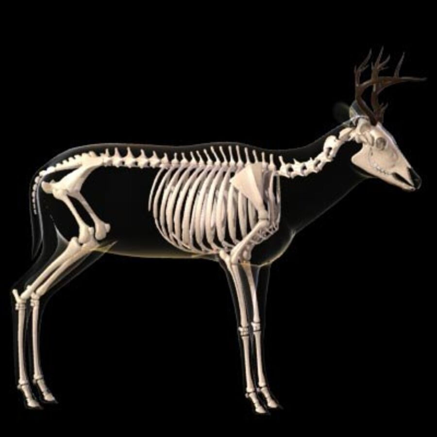 Anatomie du cerf royalty-free 3d model - Preview no. 7