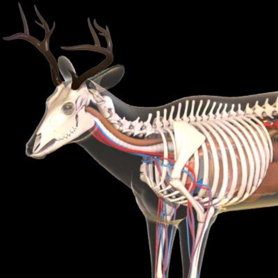 Anatomie du cerf royalty-free 3d model - Preview no. 1