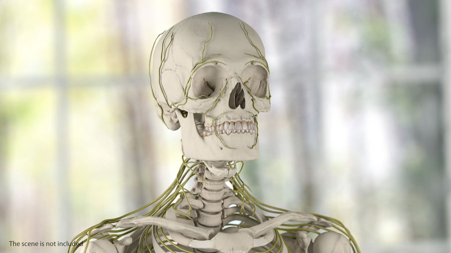 Human Head Nervous System royalty-free 3d model - Preview no. 4