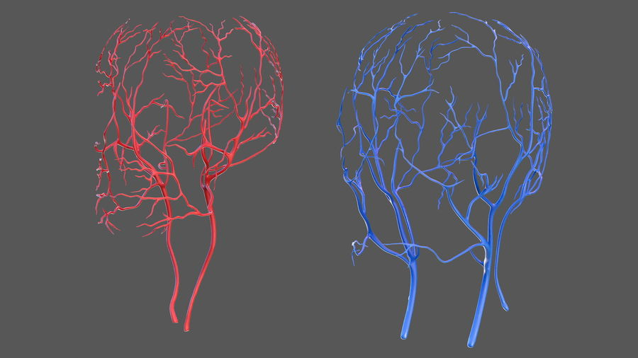 Human Head Cardiovascular System royalty-free 3d model - Preview no. 5