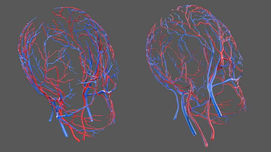Human Head Cardiovascular System royalty-free 3d model - Preview no. 8